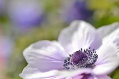 anemone (snowshoe hare*) Tags: flowers purple anemone botanicalgarden  dsc0301
