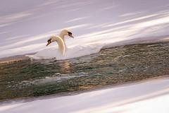 Winter Swans (iheartcountry) Tags: winter birds season swan iowa swans avian trumpeter