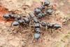 Phaenomerus sp. (Conoderinae: Campyloscelini). (David Ball.) Tags: hymenoptera ant weevil canon270ex singapore phaenomerus conoderinae campyloscelini