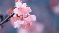 Signs of Spring (Ted Tsang) Tags: flower tree nature rain spring bokeh taiwan olympus  droplet sakura cherryblossoms macroshot lugu  em1 nantou    40150mmf28