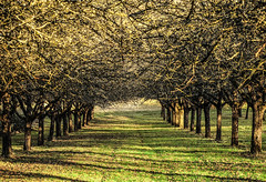 Avenue of Apple Trees (Habub3) Tags: winter tree apple canon germany powershot avenue baum apfel g12 2016 deutschöand remstal habub3