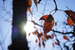 Autumn sunshine (Eric Flexyourhead (YVR catch-up mode!)) Tags: city blue autumn red sky urban orange sun sunlight detail tree fall leaves japan zeiss bokeh vibrant branches vivid clear lensflare   sunburst osaka kansai mino fragment shallowdepthoffield minoh minoo 55mmf18   minoshi sonyalphaa7 zeisssonnartfe55mmf18za