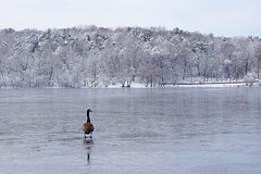 Solitary Winter Goose ((Jessica)) Tags: wildlife ice bird solitary water pond standing snow lonely trees frozen jamaicapond goose winter alone pw boston newengland massachusetts winterstormlexi emeraldnecklace nature animal wildlifewednesday geese birds