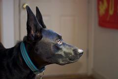 Another Dog Portrait... (NVenot) Tags: portrait dog dogs puppy labrador germanshepard