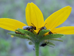 shady characters (paul millie) Tags: summer yellow bees