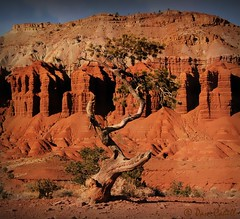 The Weathered & the Worn (@ Pam Cahill) Tags: park southwest tree texture utah capitol national geology redrock reef