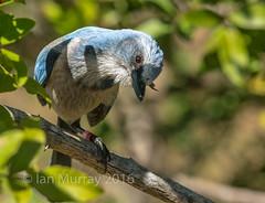 IMG_5270 (Wallace River) Tags: florida endangered scrubjay capecoral