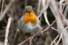 Robin (Shane Jones) Tags: bird robin nikon wildlife tc14eii 200400vr d7200
