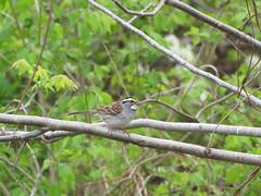 White-throated Sparrow (swanie1241) Tags: bird animal outdoor whitethroatedsparrow zonotrichiaalbicollis schermanhoffmanwildlifesanctuary