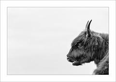 Wild At Heart I (Frank Hoogeboom) Tags: wild white black holland art netherlands dutch photography cow fotografie cattle fine nederland highlander scottish workshop landschap eiland zuidholland tiengemeten southholland nordicvision