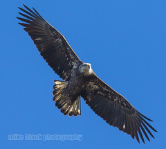 Juvenile Bald Eagle over the NJ shore (Mike Black photography) Tags: new usa white black bird mike nature animal canon lens big eagle body year watching birding flight bald nj shore jersey birdwatching 800mm