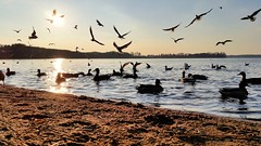 Und nochmal... (Th.He) Tags: sunset sun beach germany deutschland duck spring sonnenuntergang seagull gull ducks samsung galaxy enten ente mwe sonne brandenburg frhling s5 wandlitz wandlitzsee