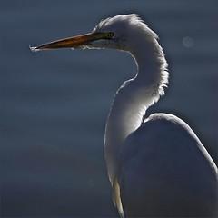 . (me*voilà) Tags: portrait bird egret onblue contraluce cafiles