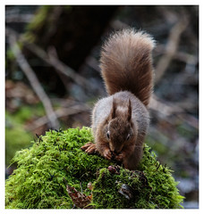 Red Squirrel (Kieran Commins) Tags: red animal forest wildlife squirel irishwildlife