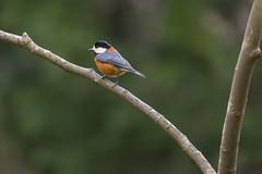 Varied tit (Propangas) Tags: life park bird japan jp