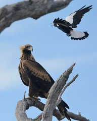 Spotted just in time - Magpie swooping Wedge tailed Eagle (tree.twisted) Tags: nature birds action birdsinflight canberra magpie teleconverter birdsofprey wedgetailedeagle 2016 swooping wildandfree tc14eiii nikon300mmf4pf