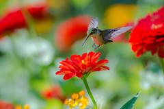 Landing (rvtn) Tags: flowers red flower green bird nature birds hummingbird birding flight zinnia rubythroatedhummingbird