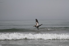 Brown Pelican Landing (ambeanerxcore) Tags: ocean sea brown bird beach port mexico island texas gulf pelican landing mustang christi corpus aransas occidentalis pelecanus