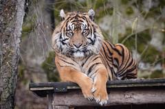 Sumatran Tiger (mellting) Tags: animal mammal zoo nikon flickr sweden tiger bigcat sverige sumatrantiger eskilstuna platser sumatratiger parkenzoo pantheratigrissumatrae 500px djurparker bloggad nikond7000 mellting instagram matsellting sigma1506005063sport