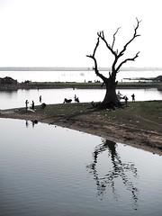 The Tree at U Bein Bridge (Feldore) Tags: bridge tree water river dead fishing fishermen sinister burma silhouettes bein olympus panasonic u myanmar burmese mchugh mandalay em1 35100mm feldore