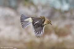 Lu piccolo _007 (Rolando CRINITI) Tags: birds natura uccelli uccello arenzano ornitologia lupiccolo
