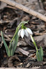 First Snowdrops appear (Ron Hay) Tags: flowers white spring snowdrops