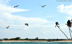 In picchiata - Nosedive - Picado (Dedalomouse Photos) Tags: republica travel sea sky bird beach clouds nuvole mare tommaso playa aves uccelli ave cielo nubes dominicana pesca caribe palmas caraibi olmeda dedalomouse tommasoolmeda