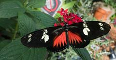 Héliconius doris (MichelGuérin) Tags: ca © canada nature animal butterfly lumix montréal panasonic papillon québec qc montrealbotanicalgarden 2016 jardinbotaniquedemontréal dorislongwing heliconiusdoris michelguérin tousdroitsréservésallrightsreserved lumixdmcfz1000 lightoomcc papillonsenliberté2016 héliconiusdoris