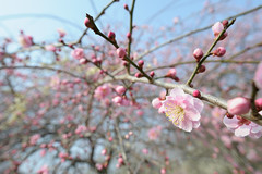 20160227 Inabe Agricultural Park 3 (BONGURI) Tags: nikon jp  ume mie  weepingcherry  inabe         umefestival agriculturalpark d3s  japaneseapricottree umegrove    afsnikkor20mmf18ged inabeagriculturalpark