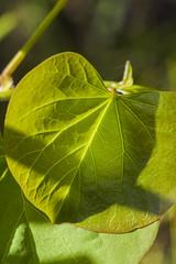 IMG_6133 (petrosli) Tags: plants macro nature closeup canon eos eos500d