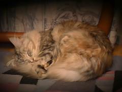 Eingekuschelt (eagle1effi) Tags: female cat chat pussy indoor mainecoon felini vignette housecat muschi domesticcat maincoon felis miezi felissilvestris felissilvestriscatus hauskatze iso6400 felinae