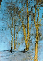 Trees & Ducks ... Reflections Water Upside Down Dazzling Reflection     Anka (Almena14) Tags: trees reflection water reflections upsidedown ducks anka dazzling