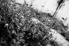 Life finds a way... (baldr.almeida) Tags: life light bw sunlight plant flower nature grass wall mono darkness wide wideangle diagonal paths struggle