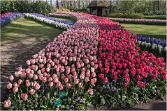 Tulip Flyover (StevenMBeard) Tags: flowers plants netherlands tulips flyover keukenhofgardens