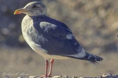 Glaucous-winged Gull - Adult - December (aaabela) Tags: bird december adult gull aves larus glaucouswingedgull laridae charadriiformes chordata