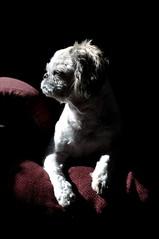 Cerberus (Lee Saboro) Tags: light shadow dog pet animal profile shihtzu