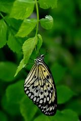 Papillons en Libert 2016 - Photo 40 (Le Chibouki frustr) Tags: macro butterfly insect nikon dof montral bokeh montreal butterflies insects fullframe fx botanicalgarden pdc jardinbotanique homa montrealbotanicalgarden hochelagamaisonneuve closeupfilter closeuplens jardinbotaniquedemontral d610 610 macrophotographie butterfliesgofree papillonsenlibert nikond610 papillonsenlibert2016 butterfliesgofree2016 septimevisite seventhvisit