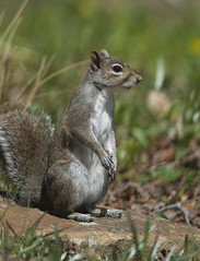 Grey squirrel (tevans9129) Tags: nikon squirrel tennessee tc17e 400f28 d800e