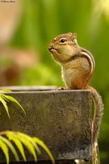 Diner sur le bors de la fontaine (themaumo27) Tags: nature nikon wildlife tamia d2xs