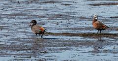 NZ 14 (152) (Baffledmostly) Tags: invercargill sandypoint paradiseshellduck