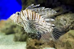 pez escorpion (el fotitos) Tags: pez faunia acuario pezescorpion scorpaeniformes