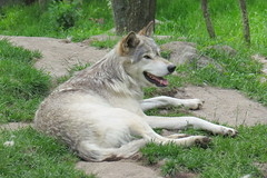 Timber Wolf 1 (Bram Blenk) Tags: wild animals parcomega
