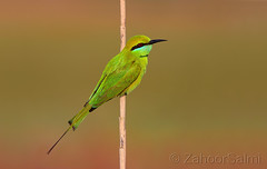 Green bee-eater (Zahoor-Salmi) Tags: camera pakistan macro nature birds animals canon lens photo tv google flickr natural action wildlife watch bbc punjab wwf salmi walpapers chanals discovry beutty bhalwal zahoorsalmi