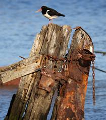 Oyster Catcher, Nice day at Oare Creek (Jim_Higham) Tags: blue sky beautiful kent spring day sunny idyllic oare