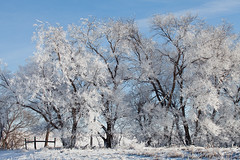 Covered Trees (Zack Mensinger) Tags: winter minnesota eos midwest frost hoarfrost 2016 westernminnesota canon5dmarkii