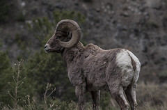 Bighorn Sheep (Kim Tashjian) Tags: montana sheep wildlife ram bighornsheep highway89