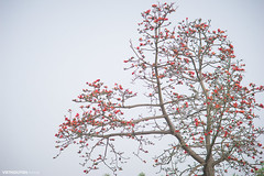 Blossom of the Red Silk Cotton Tree - The Latin name is Bombax Ceiba, and it is a popular ornamental tree found in East and South Asia (:: Focus Studio ::) Tags: china pink red sky orange white plant flower detail tree nature beauty garden asian spring stem flora energy colorful asia vietnamese branch florida blossom gardening outdoor peach silk culture fresh pistil petal vietnam viet cotton luck heat temples tropical bloom bud horticulture isolated nam ethnicity kapok curving ceiba fertile bombax
