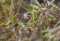 Acanthocarpus preissii, Reabold Hill, Perth, WA, 15/04/16 (Russell Cumming) Tags: plant perth westernaustralia asparagaceae reaboldhill acanthocarpus acanthocarpuspreissii