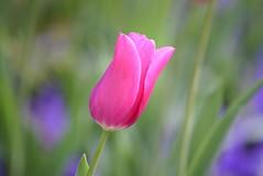 Tulip (careth@2012) Tags: nature petals spring coth5