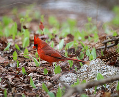 IMG_7324 (pipefitr18201) Tags: birds cardinal bluejay thrasher